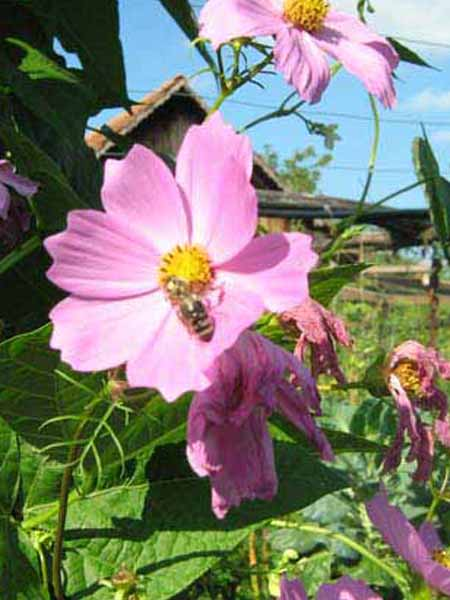 S Gartenmalve rosa