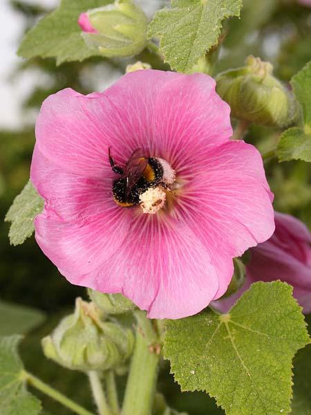S Stockrose gew rosa
