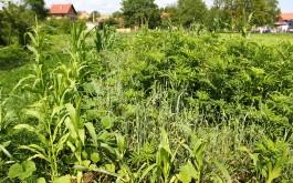 Kukuruz, pšenica, raž i zob