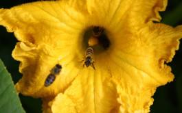 Pčele na cvjetu buče