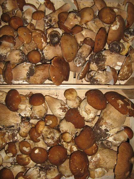 Gljive za HoReCa